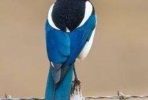 Pássaros ornamentais