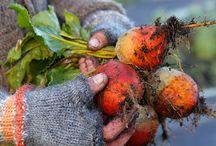 Syksyinen puutarha / Syksyiseen kotipuutarhaan kuuluvat sadonkorjuun antimet, keltaisen ja punaisen sävyissä hehkuvat värit, jaloissa rapisevat lehdet,  maanparannus ja kukka-asetelmien teko luonnon raaka-aineita hyödyntäen <3