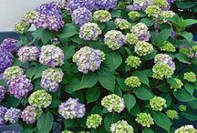 Hydrangea BloomStruck / Check out these great new Hydrangeas in the Endless Summer line!