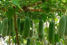 luffa / Luffa is a genus of tropical and subtropical vines in the cucumber (cucurbitaceae) family . Luffa acutangula; Luffa aegyptiaca; Luffa operculata