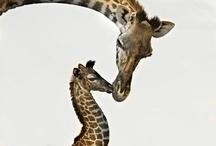 Giraffes / by Janelle Hagelin