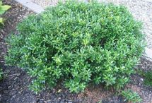 landscaping ideas / bushes and shrubs