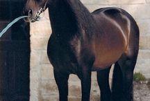 Les chevaux Espagnols / Voici, une race fascinante ...