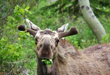 Wildlife / Wildlife sightings in St. Mary and surrounding areas / by St. Mary - Glacier Park KOA