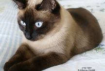 Siameses cats