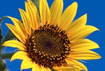 Girasoles / by Hortensia Sanchez