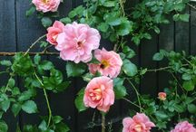 Roses from the garden / Historical roses.