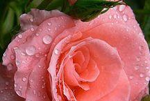 Vida...Vidinha... / rosas