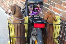 Daring Dachshund Lifestyle / Got to love the adventurousness of dachshunds!