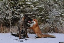 Amazing Real Life 'Fox And Hound' Friendship / It all started when Scandinavian photographer Torgeir Berge and his canine companion Tinni set out one day to explore the chilly Norwegian woods. Along the way, Tinni came across a wild fox and the two quickly struck up a bond that has proved to be unbreakable. Scroll down and witness this strange and unusual animal friendship!  | www.petnook.in