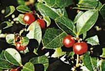 Wintergreen Oil and Wintergreen Tea Health Benefits