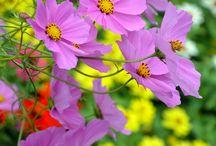 Cosmos flower / Grandma's garden...childhood...