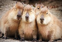 capybara *.*