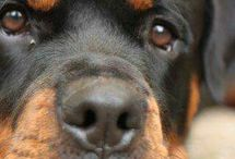 Rottweilers....