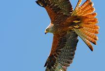 Hawk / Eagle