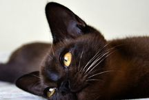 Burmese / Cat