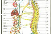 Anatomia del SN