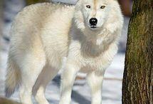Images de loups