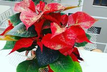 magic christmas flower