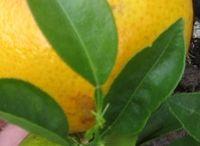 Lemon & Zest / Citrus, citron, citronnier, lemon