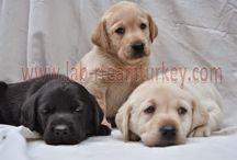 Lab'R Team Turkey | Labrador Retriever / Türkiyenin En kaliteli labrador retriever üreticilerinden Lab'R team Türkey Yavrularını Görebilirsiniz