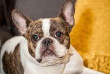 Pacific Northwest Bulldog Rescue / Dogs Leave Paw Prints in Your Heart!  For more information: http://www.pacificnorthwestbulldogrescue.org