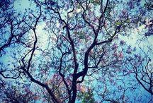 Jacarandas / Árboles y primavera