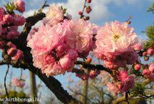 Prunus triloba mulltiplex
