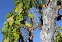Grapes Varieties