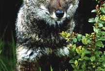 lišky a vlci