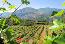 RAPSANI / Mount Olympus- The home of the Gods hides in its slopes the Rapsani vineyards, the vines that produce our own version of the nectar of the Gods.