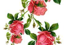 Зарисовки розы