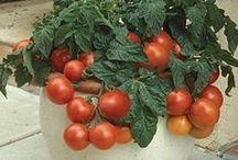 Huerta tomates cherry
