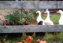 Chickens or Ducks, backyard fowl