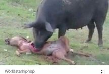 Why pig unclean