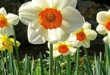 """Bulbs that bloom in spring / Minor to major spring bulbs -- crocuses, grape hyacinths, daffodils, tulips, and more! See our """"Daffodils"""" board for more narcissus varieties."""