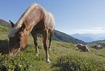 Haflinger horses / The haflinger horses... our pride