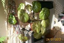 "begonia erythrophylla en andere begonia""s"
