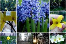 Hyacinths Splendor / Hyacinths