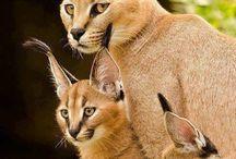 leões raposas