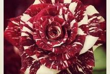 Tiger Stiped Rose