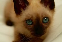 My obsessions: Seal point siamese