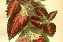 Favorite Flowers of Garden and Greenhouse / Antique Botanical Illustrations from 1896-7 from The Biodiversity Library We offer these gorgeous flowers as seeds or plants