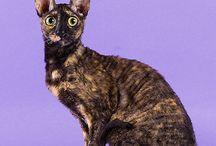 """Кудрявое чудо /   Корниш-рекс - это изысканная, богемная кошка. Происхождение своё она ведёт из английского графства Корнуэлл, где впервые была закреплена """"королевская"""" мутация, главный признак породы РЕКС - волнистая шерсть."""