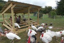 Turkeys on the farm / All things turkeys, heritage turkeys, raising turkeys, turkey coops