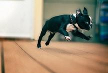 thewintergf boston terrier