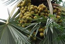 PALMS N TODDY PALMS / by GREEN UNIVERSE ENVIRONMENTAL SERVICES SOCIETY (GUESS)