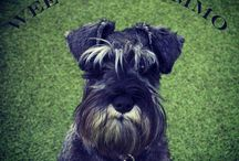 Yowzers, look at all these Schnauzers!