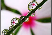 Rosa/Krople deszczu