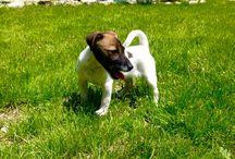 Il mio cucciolo / É un cucciolo di jackrussell terrier nato il 19/2/16